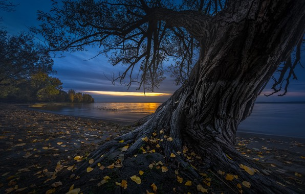Picture leaves, night, tree, shore