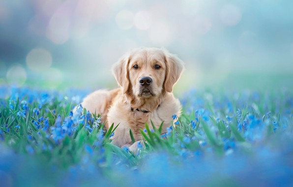 Picture look, face, light, flowers, nature, pose, background, blue, glade, tenderness, portrait, dog, spring, blue, lies, …