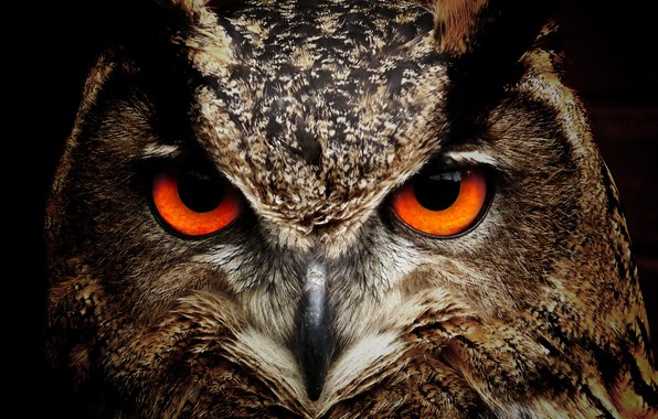 Picture eyes, look, owl, Bird