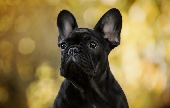 Picture autumn, look, light, yellow, background, portrait, dog, black, bulldog, ears, face, bokeh, French bulldog