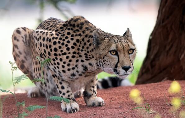 Picture cat, Cheetah, beast