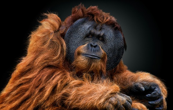 Picture look, portrait, the dark background, orangutan