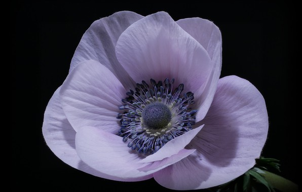 Picture macro, petals, Anemone, black background