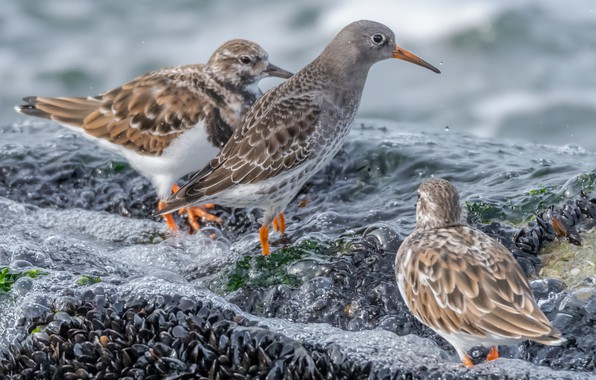 Picture water, birds, Kamnesharka, Sea Sandpiper
