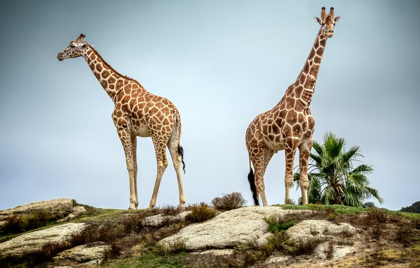 Picture pair, giraffes, neck