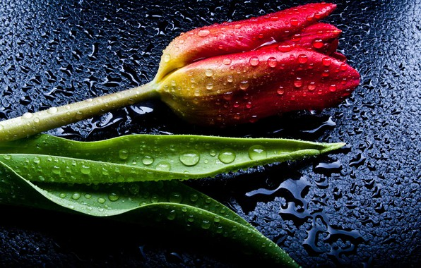 Picture drops, red, Tulip
