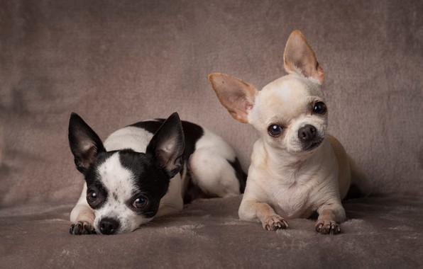 Picture background, portrait, a couple, dogs, two dogs, Chihuahua, doggie