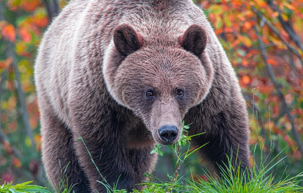 Picture autumn, forest, grass, look, face, leaves, branches, nature, pose, paws, bear, bear, brown, autumn