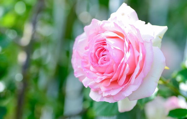 Picture flower, light, background, pink, rose, Bud, bokeh, lush