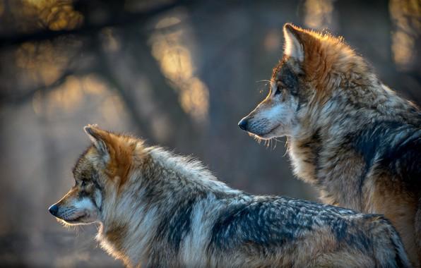 Picture predators, wolves, bokeh, two wolves