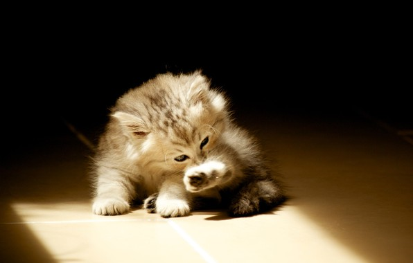 Picture on the floor, licks, light and shadow, fluffy kitten