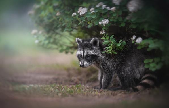 Picture raccoon, cub, the bushes, Lyudmila Bogush