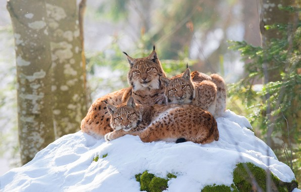 Picture winter, forest, look, snow, branches, nature, pose, comfort, background, trunks, kittens, three, lynx, trio, lynx, …