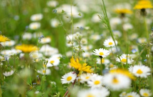 Picture grass, macro, flowers, chamomile, blur, meadow, dandelions