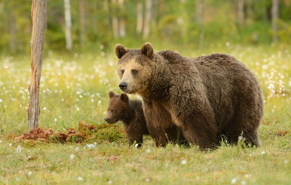 Picture greens, forest, summer, grass, look, face, nature, pose, glade, bear, bears, pair, bear, a couple, …