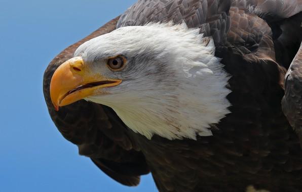 Picture bird, predator, head, feathers, beak, Bald eagle