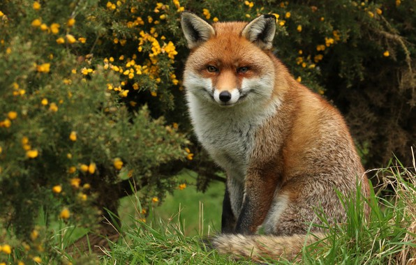 Picture grass, look, flowers, nature, Fox, sitting, the bushes