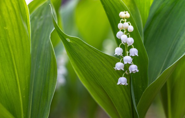 Picture leaves, macro, Lily of the valley