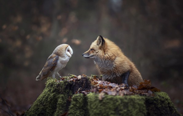 Picture autumn, forest, nature, animal, owl, bird, foliage, stump, Fox, Fox