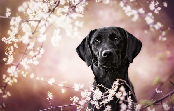 Picture look, face, flowers, branches, background, pink, portrait, dog, blur, spring, garden, black, white, flowering, bokeh