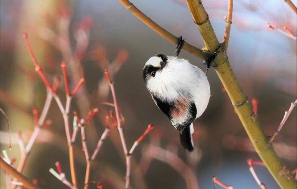 Picture branches, nature, bird, long-tailed tit