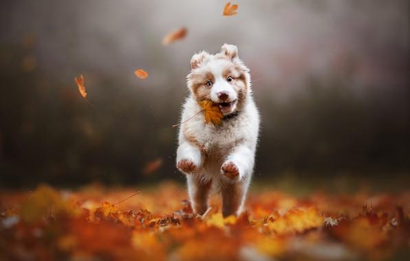 Picture autumn, leaves, dog, puppy, maple leaf, bokeh, Australian shepherd, Aussie, Alena Trojanovičová