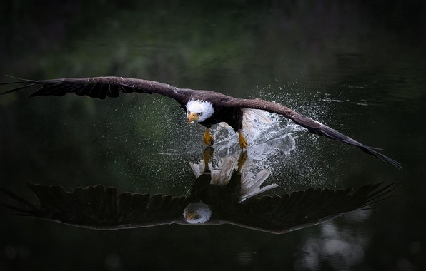 Picture look, water, flight, squirt, nature, reflection, the dark background, bird, wings, eagle, flies, the rise, …