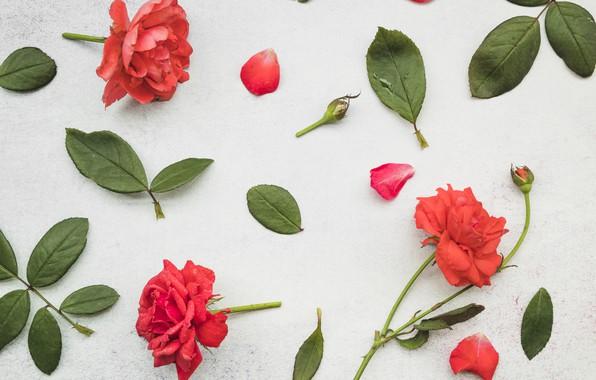 Wallpaper leaves, flowers, roses, petals, red, red, leaves, petals, roses