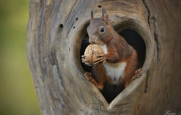 Picture walnut, protein, the hollow