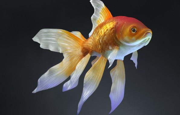 Picture fish, art, Daniel Klepek, Zolotoj Rabka, Goldfish :D