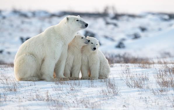 Picture winter, snow, bears, bear, Polar bears, Polar bears