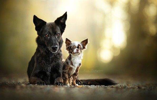 Picture a couple, bokeh, two dogs, Chihuahua