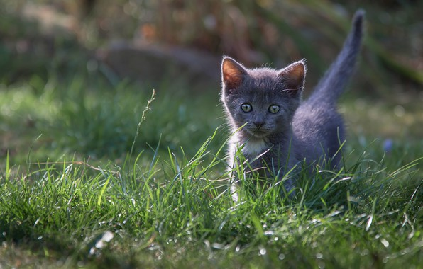 Picture cat, grass, kitty, grey, glade, baby, kitty