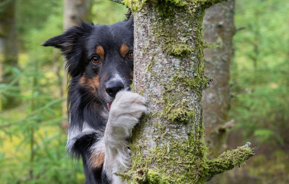 Picture look, face, tree, paw, dog, The border collie
