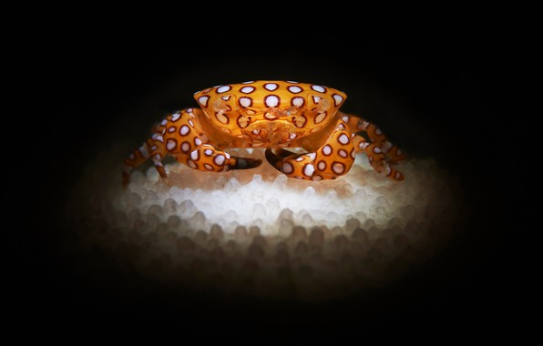 Picture crab, caviar, the dark background
