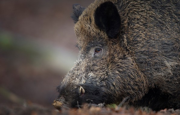 Picture face, boar, wild pig