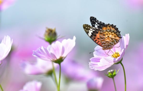 Picture macro, flowers, nature, butterfly, kosmeya