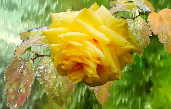 Picture DROPS, YELLOW, RAIN, ROSE