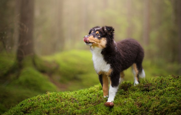 Picture forest, language, look, nature, pose, green, background, moss, dog, baby, puppy, walk, face, collie, sheltie