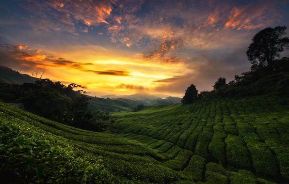 Picture the sky, sunset, hills, tea, Malaysia, plantation