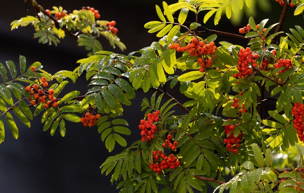 Picture autumn, leaves, drops, light, branches, berries, the dark background, Rowan