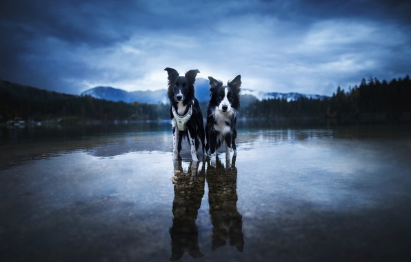 Picture forest, dogs, the sky, look, water, clouds, mountains, nature, pose, pebbles, reflection, shore, two, the …