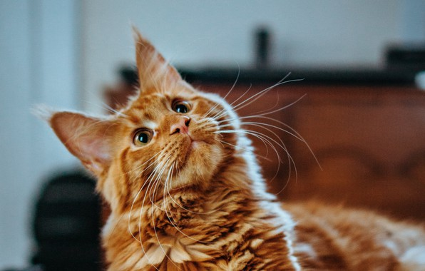 Picture cat, cat, look, red, Maine Coon