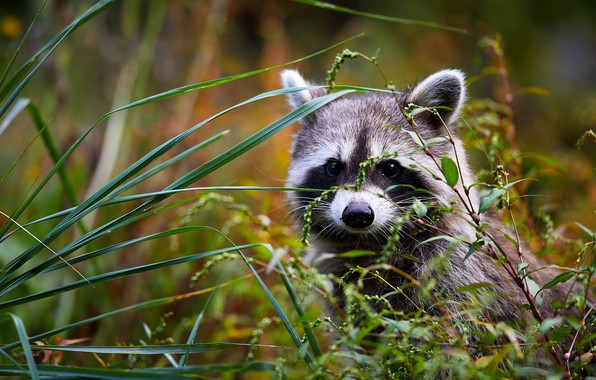 Picture grass, look, raccoon, cub, face