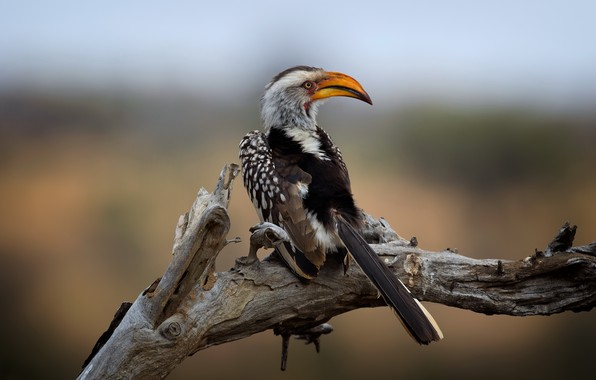 Picture Kruger National Park, Southern Yellow-billed Hornbill, Wild South Africa