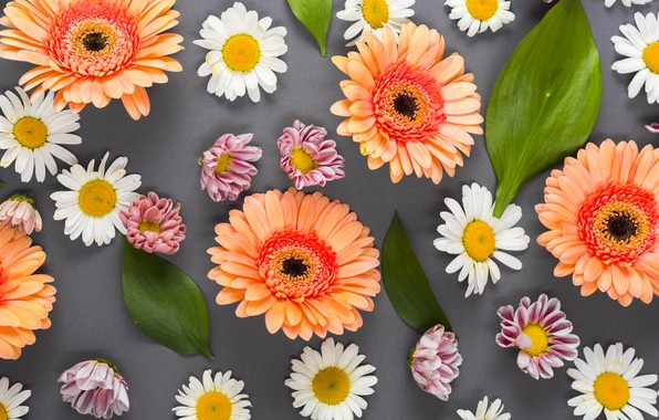 Picture flowers, background, chamomile, colorful, summer, gerbera, flowers