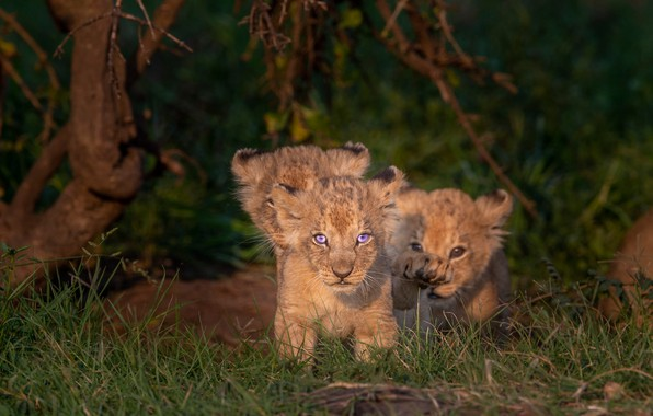 Picture kittens, kids, the cubs, cubs