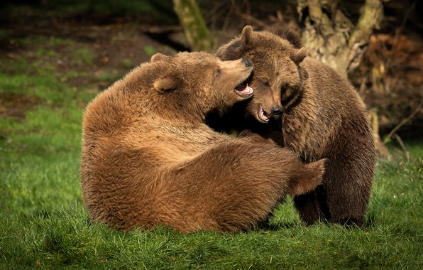 Picture grass, nature, pose, the game, fight, bear, bears, pair, two, young, brown, two bears