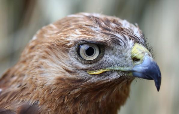 Picture background, bird, hawk