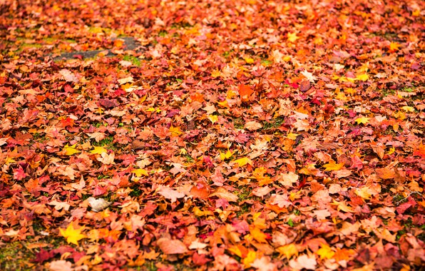 Picture autumn, leaves, background, yellow, colorful, maple, yellow, background, autumn, leaves, autumn, maple